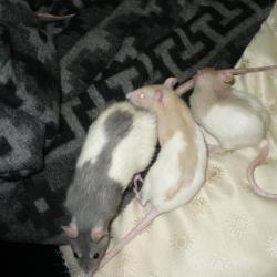 Rats hooded bleu et hooded topaze