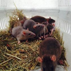 Saisie de rats à Paris