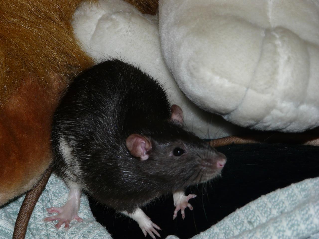 Rat noir berkshire