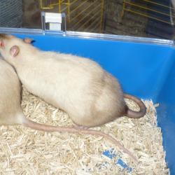 Rat siamois