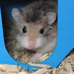 Hamster de Roborovski