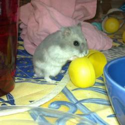 hamster russe bleu