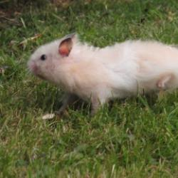 hamster syrien angora