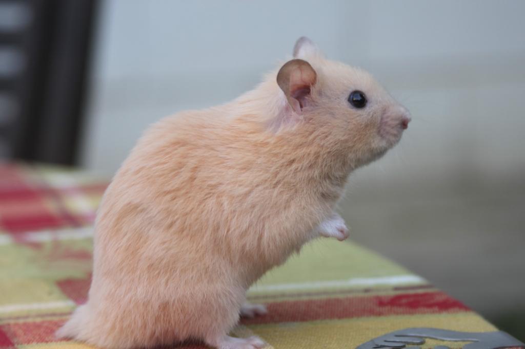 Fiche d 39 identit du hamster - Hamster russe panda ...