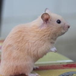 hamster syrien crème
