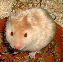 hamster syrien satin