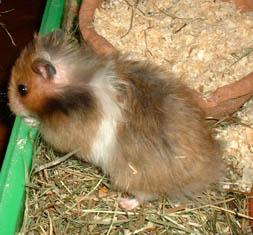 hamster syien angora