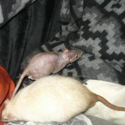 Rat double rex noir et rat poil lisse siamois
