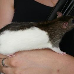 Rat hooded agouti poil lisse