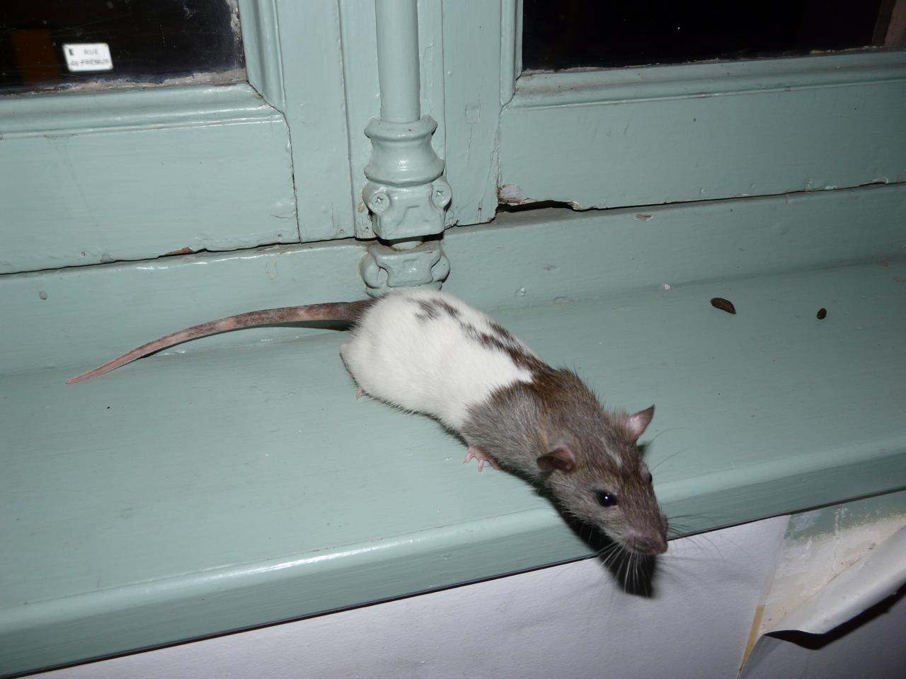 Rat hooded raté agouti étoilé
