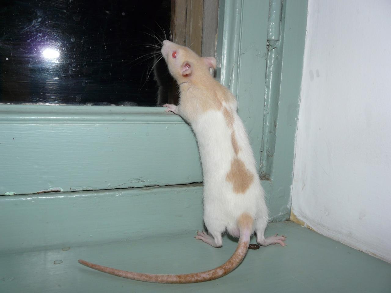 Rat hooded raté topaze