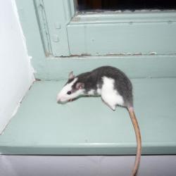 Rat husky
