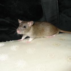Rat poil lisse agouti