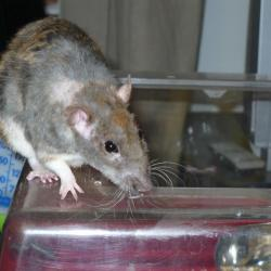 Rat rex (2)