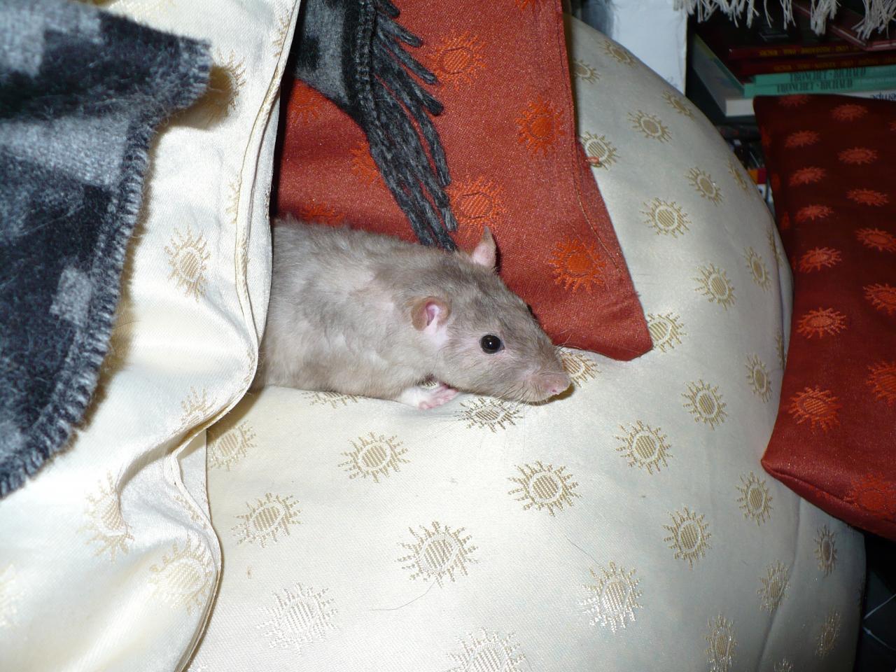 Rat rex