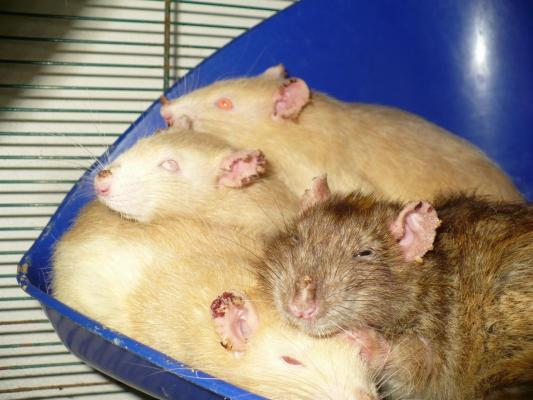 Les probl mes de peau chez le rat - Comment attraper un rat ...