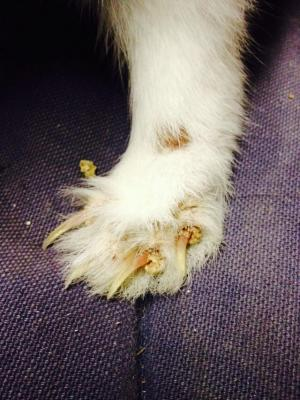 pattes atteintes par la gale sarcoptique