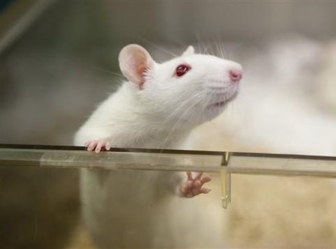rat de laboratoire