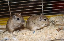 2-gerbilles-males