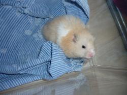 hamster-angora1.jpg