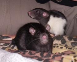 rat-standard-et-rat-dumbo.jpg